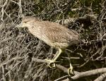 Juvenile Black Crowned Night Heron #1