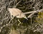 Juvenile Black Crowned Night Heron #8