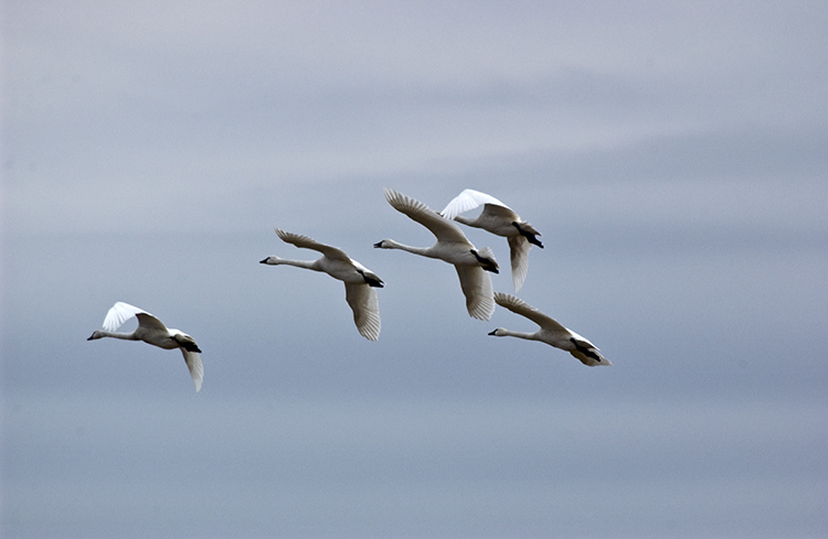 Flying Tundra Swans #18