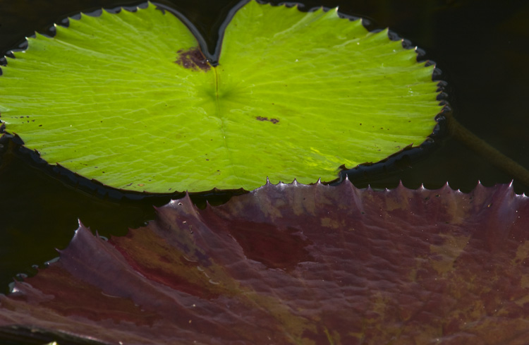 Water Lilies #81