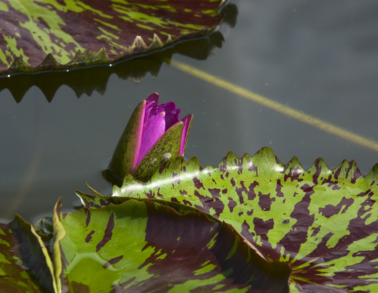 Water Lilies #95