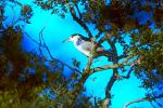 Black Crown Night Heron #15